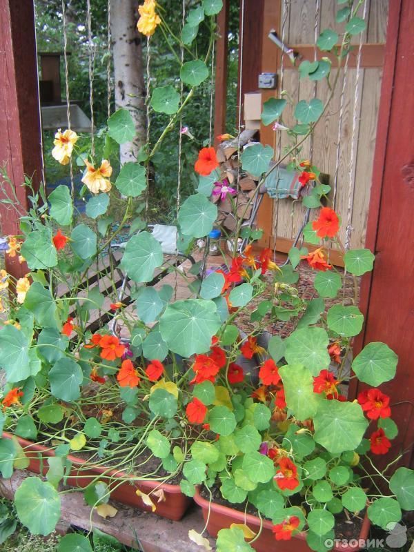 Отзыв о однолетнее растение настурция настурция - отрада для.